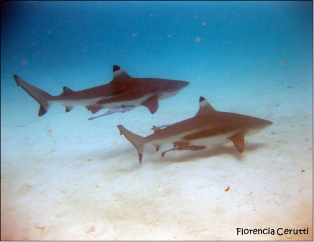 black-tip-sharks