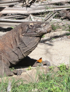 Komodo Dragon and Butterfly