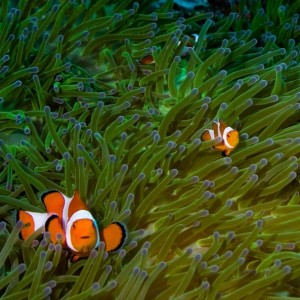 clown fish in heaven