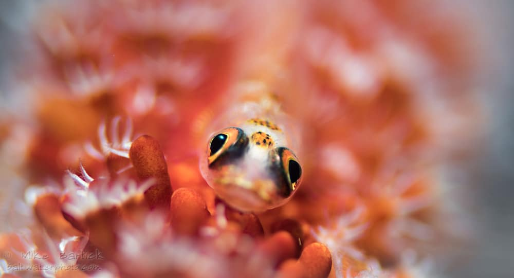 Whip-coral-goby_bokeh-1-of-1.jpg