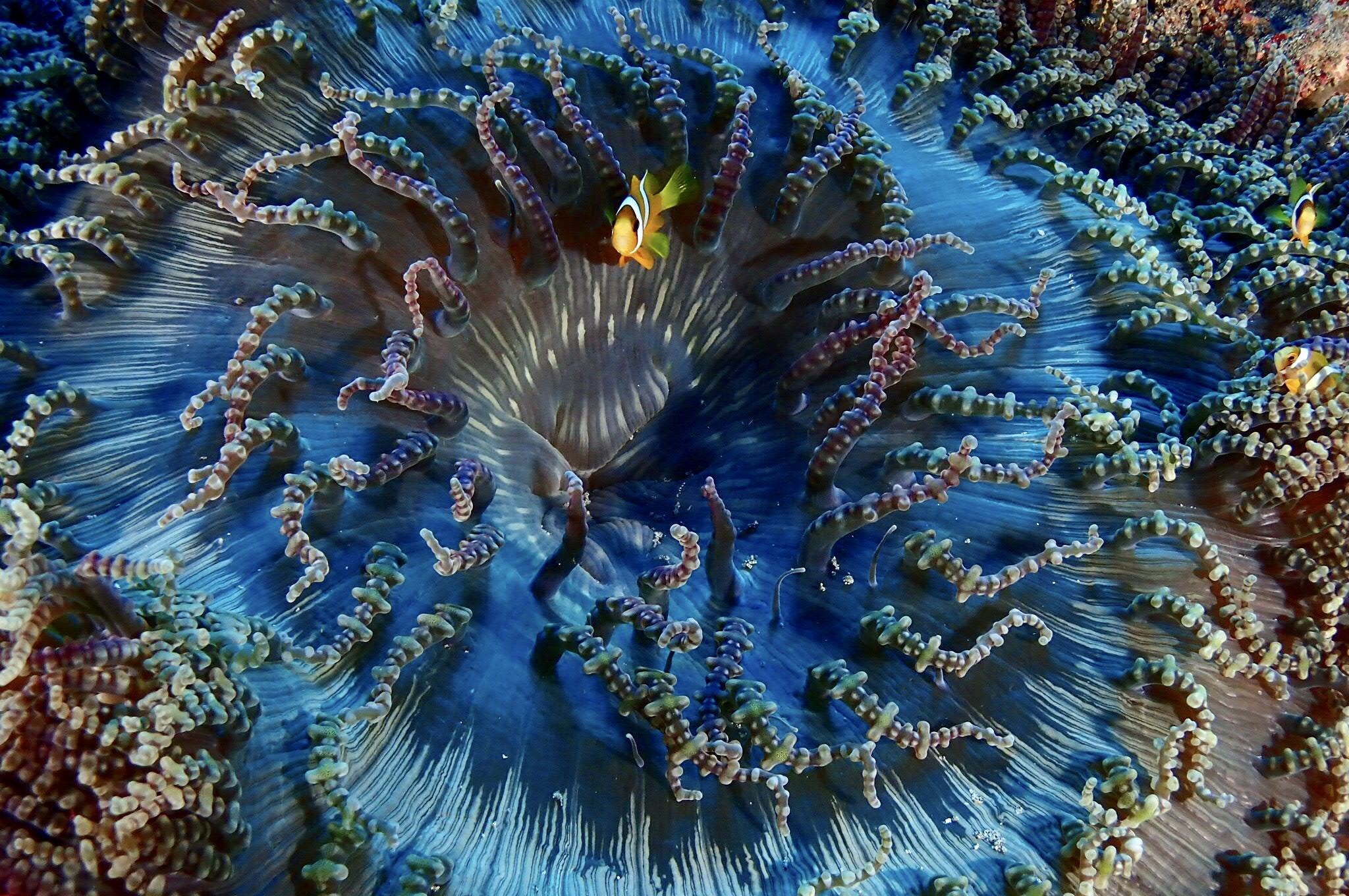 blue beaded anemonie and clown fish