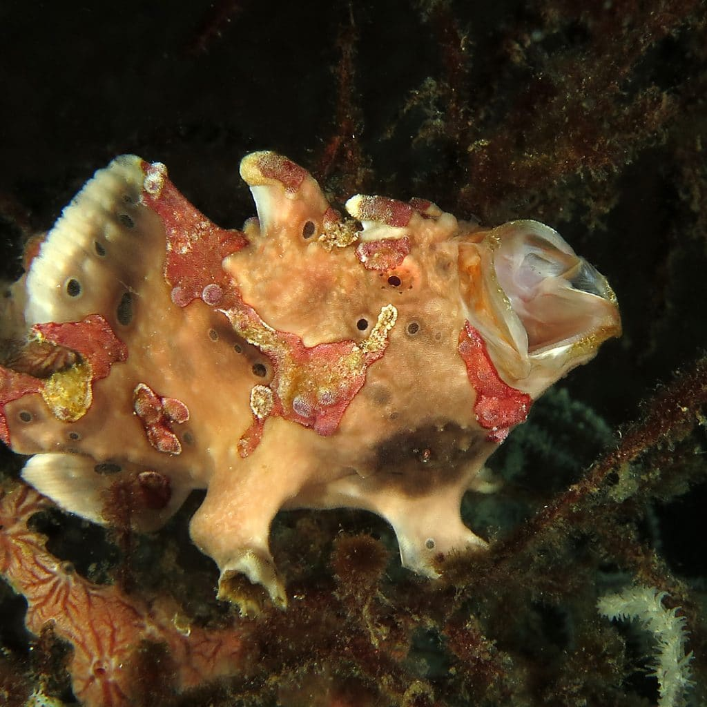 frogfish calling