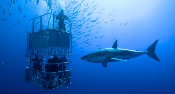 Cage-diving-with-Great-White.jpg