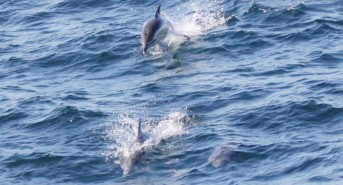 Common-dolphin-photo-by-Paul-Semmens.jpg