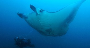 Manta-Ray-and-Diver-Image-by-Tim-Rock.jpg