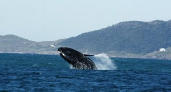 NEWS-Brazil-Federal-Regional-Court-Rules-in-Favour-of-the-Southern-Right-Whales-photo.jpg