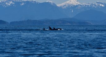 Orcas-in-front-of-BC-mountains.jpeg