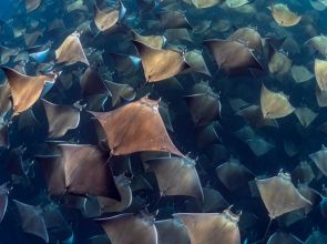 Exploring with the Dive Ninjas: Diving with the Mobula Rays of Baja California, Mexico