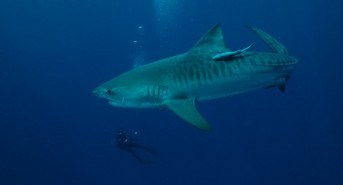 africa_south_africa_scuba_addicts_lodge_gallery_tiger_shark.jpg