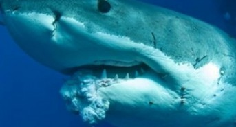 great-white-shark-tumor.jpg