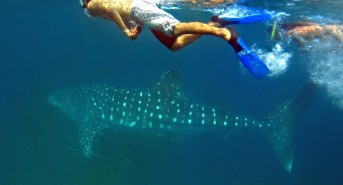 snorkelling-and-freediving-with-whale-sharks-Mafia-5.jpg